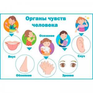 Стенд органы чувств человека