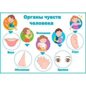 органы чуств
